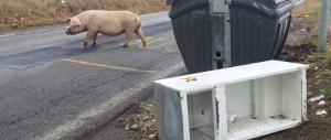 Ricompaiono i maiali tra i cassonetti di Roma ma l'Ama si difende: sono scappati dai recinti…