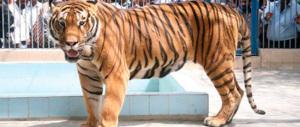 Anche una tigre tra i beni confiscati a un boss della mafia salentina