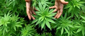 Catania, 3000 piante di marijuana sequestrate dalla Polizia di Stato