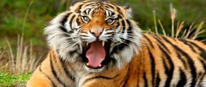 Panico a Monreale, tigre a spasso per la città. Catturata da agenti e domatori