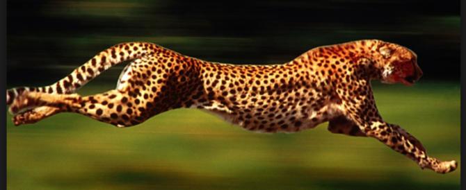 Arriva il robot ghepardo: sarà in grado di correre alla velocità di 50 km orari