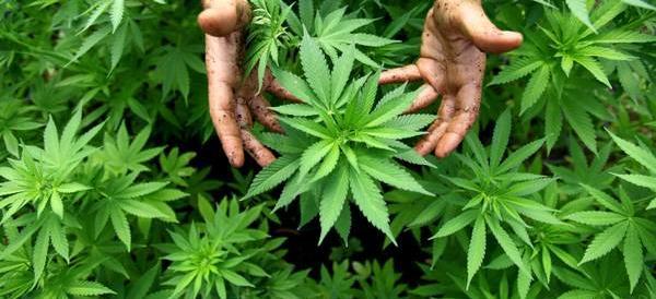 Cannabis day a Milano. Uno dei corsi di coltivazione è patrocinato dal M5S (video)