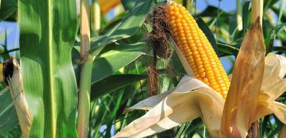 L'Italia conferma con un decreto il no al mais Monsanto