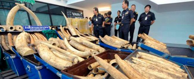 Zanne d'elefante a peso d'oro. Maxi sequestro di avorio in Thailandia