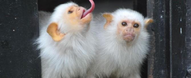Sono rarissime e sono state rapite: giallo in Francia per 17 scimmie
