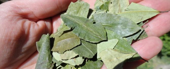 Viaggio del Papa in Bolivia, Bergoglio berrà una tisana a base di foglie di coca?