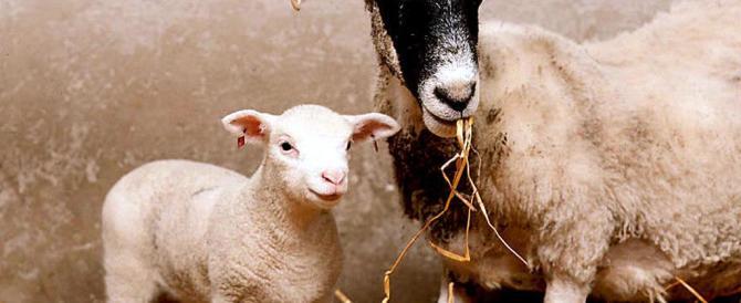 L'Europa dice no alla clonazione animale: mai più una pecora Dolly