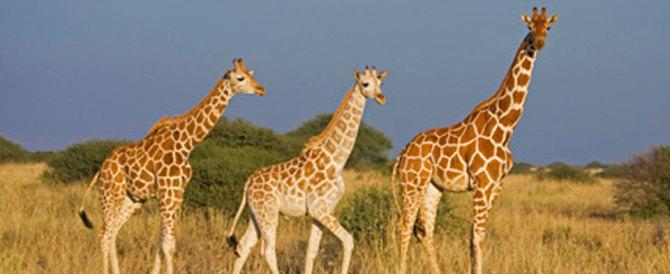 Giraffe a rischio estinzione. Il 21 giugno Giornata mondiale in loro onore