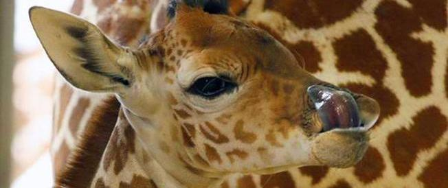 È morta Kipenzi, la giraffina dello zoo di Dallas nata in diretta web (Video)