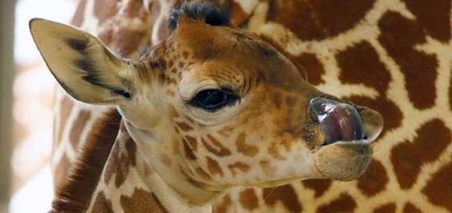 kipenzi giraffa