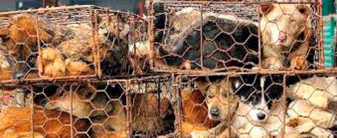 Il cinese Ling: da noi mangiano i cani? Anche voi mangiate i conigli…