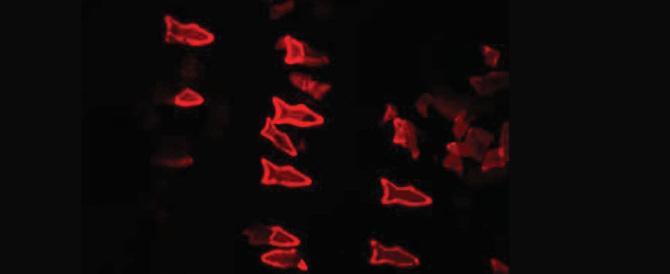 Ecco i micropesci robot: inseriti nelle vene trasportano i farmaci nel sangue