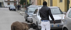 """Livorno, islamico ruba una pecora per """"sacrificarla"""" in casa"""
