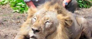 Caccia al leone, dopo il dentista Usa, il web contro un veterinario italiano