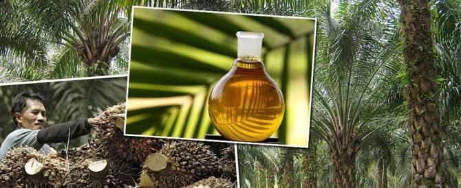 L'Italia raddoppia il consumo di olio di palma. Un terzo non è certificato