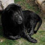 Un leone nero? A colorarlo con photoshop sono capaci tutti... (Foto Twitter)