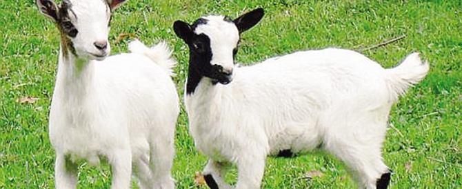 Basta offese alle capre. Animalisti in campo contro Vittorio Sgarbi