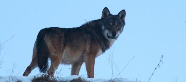 Ora i lupi fanno strage in Maremma: ovini sbranati negli allevamenti