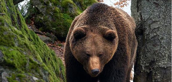 Arezzo, anche l'orso comunista regalato dall'Urss non è più protetto