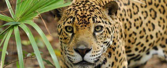 """Filmato """"Il boss"""", l'ultimo giaguaro d'America. Ma è a rischio anche lui (Video)"""