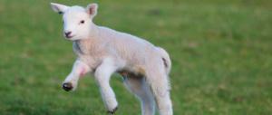 Due dosi di cocaina pagati con un agnello vivo. Accade in Abruzzo