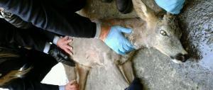 Bambi salvato a Torino: si aggirava spaesato per le vie della città