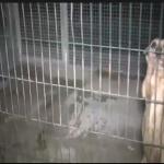 Le gabbie dove venivano tenuti gli animali. Foto Polizia di Stato, Facebook)