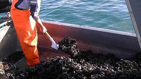 Pizzo ai miticoltori e frutti di mare a rischio diossina: 13 arresti a Taranto