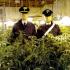 Coltivavano marijuana al posto delle rose: arrestata famiglia di floricoltori