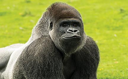 Usa, gorilla abbattuto per salvare un bambino di 3 anni