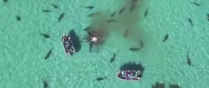 Decine di squali affamati sbranano la carcassa di un cetaceo a Shark Bay (video)