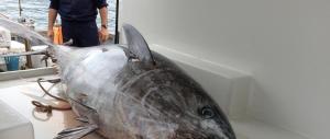 Più tonno rosso sulle tavole: la quota di pesca per l'Italia sale del 20%