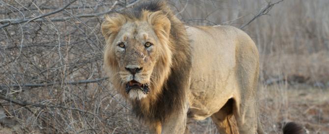 India, catturato il leone sbrana-uomini. Aveva attaccato e ucciso tre persone