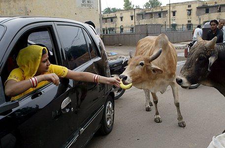 India, un movimento indù chiede un ministero per le mucche