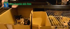 Traffico di animali dall'Ungheria: due persone arrestate a Lodi