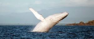 Nuovo avvistamento di Migaloo, la balena più grande del mondo