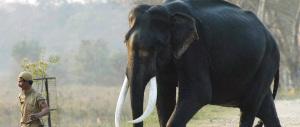 Bangladesh, non ce l'ha fatta l'elefantessa trascinata dalle acque