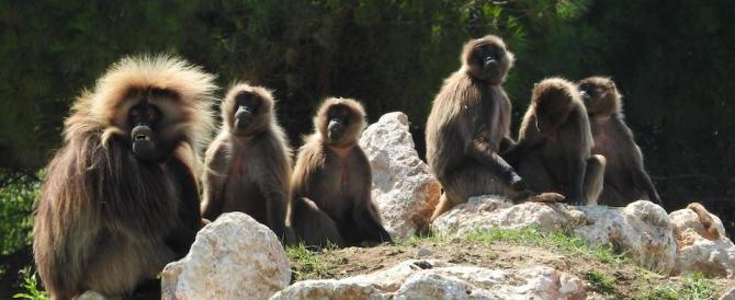 I Gelada da uno zoo tedesco in Italia: le scimmie delle rocce sono già un cult