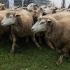 Terremoto: ora è emergenza animali, centinaia gli allevamenti distrutti