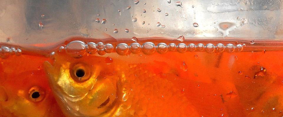 Il nuovo fenomeno i pesci rossi gettati nei fiumi e nei for Dove comprare pesci rossi