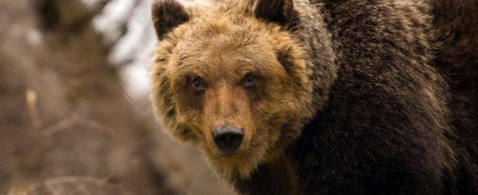 Abruzzo, torna l'orso marsicano e fa strage di polli, galline e papere