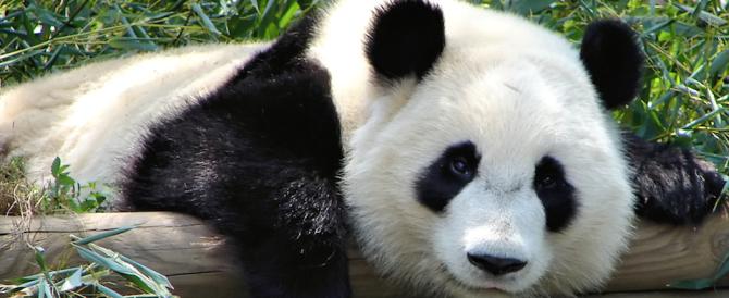 Sorpresa: il panda non è  più a rischio, gorilla a un passo dall'estinzione