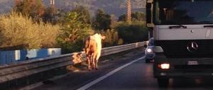 Investe un toro e le corna si infilano nel parabrezza: ragazza sotto choc