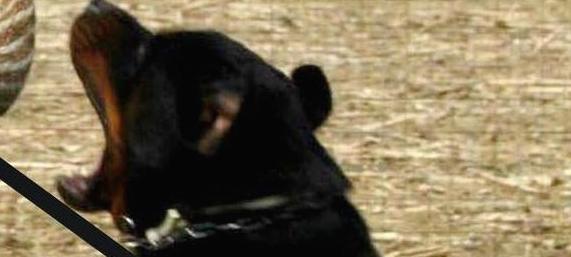 Choc in Gb, bimbo di 4 mesi sbranato da un cane. Il fratellino è gravissimo