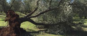 Made in Italy, per l'olio d'oliva è un disastro: la produzione cala del 37%