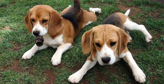 Animalisti in festa: chiude per sempre Green Hill, allevamento per cani da vivisezione