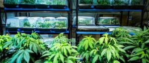 Piantagioni di marijuana con i fondi europei: cinque arresti in Puglia