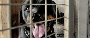 Bimba aggredita da un rottweiler. Il nonno uccide il cane: denunciato
