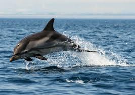 """Delfini Capitolini, 150 """"tursiopi"""" nelle acque del litorale romano"""