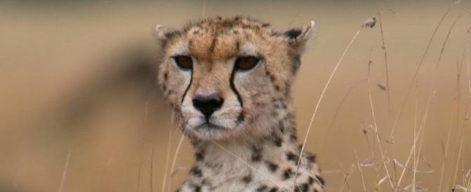 I ghepardi verso l'estinzione. Restano 7100 esemplari, scienziati in campo